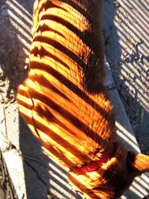 Our striped tiger - (c) David Ocker