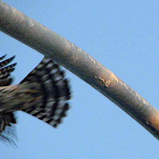 tail of the hawk in flight (c)David Ocker