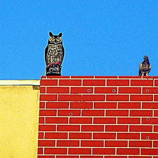 fake owl and stupid pigeon (c)David Ocker