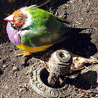 Lady Gouldian Finch on ground (c)David Ocker