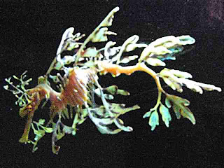 Sea Dragon Birch Aquarium La Jolla California (c)David Ocker