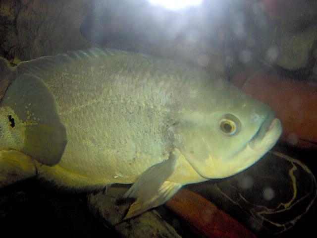 Bioparque los ocarros peces for Pez cachama
