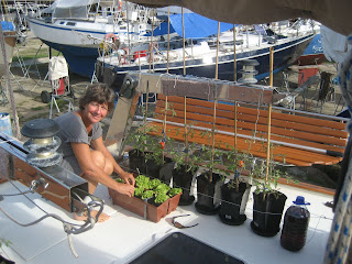 Dominique growing tomatoes in the boatyard. Contact ParadiseConnections.com to charter BLITHE SPIRIT