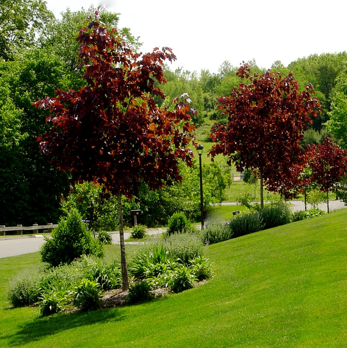 Красный клен ландшафт дизайн дача