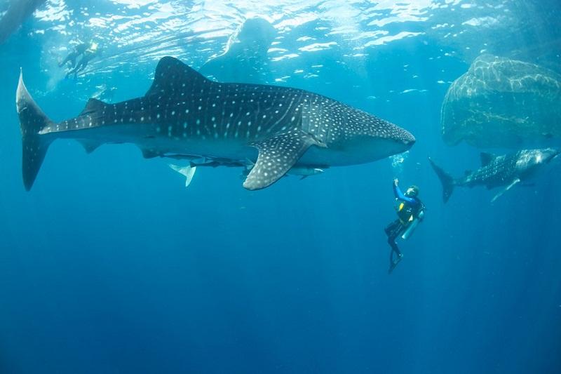 Whale sharks at cenderawasih Papua