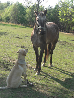 Photo of Toby in a sit-stay staring straight up at my dapple grey horse (Bella)