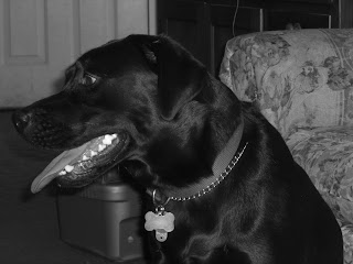 Black/white picture of Duchess's head, her mouth is opened & she's panting