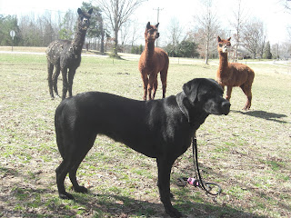 Picture of Duchess, you can see 3 Alpacas behind her