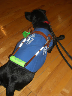 Photo of Duchess in a down-stay, she is wearing a coat/harness