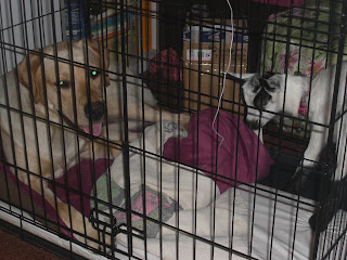 Picture of Fresca and Toby in the dog crate, Fresca is standing up and Toby is laying down