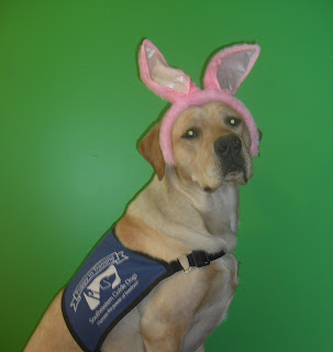 Picture of just Toby, he is wearing his guide dog coat and the pink bunny ears, my green wall is the background