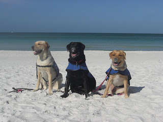 Picture of Toby, Duchess & Cassie in coat, in a sit-stay on the beach. You can see the water behind them