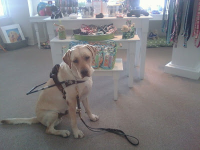 Picture of Toby in a sit-stay in harness.  Behind him is Southeastern Guide dog's gift shop in down town