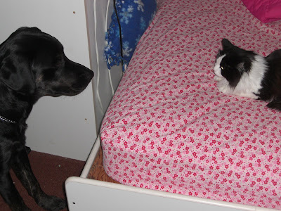 Picture of Rudy staring at at the black/white long haired cat - which is on my bed