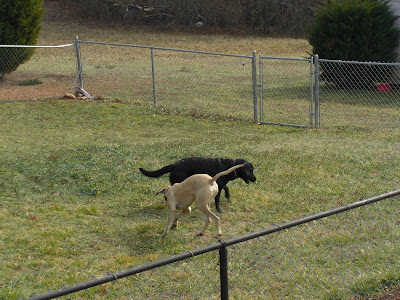 Picture of Rudy & Tracker running in the fenced in yard