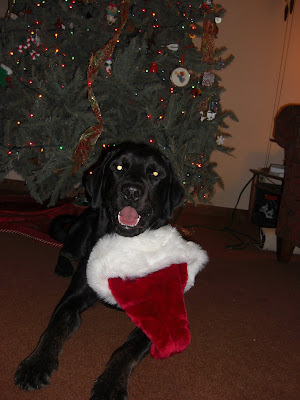 Picture of Rudy in a down-stay wearing a Santa Hat in front of the Christmas tree