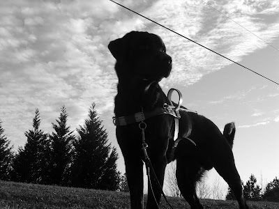 Picture of Rudy in a stand-stay in harness, the picture is black/white - and you can see the sky behind/above him