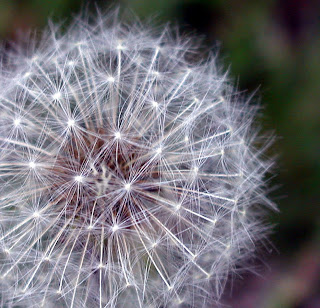 Macro photograph of a puffy white dandelion seed head