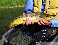 Brown trout from the Bitterroot in the spring