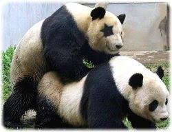 Tomás Pandahorny es un panda con suerte