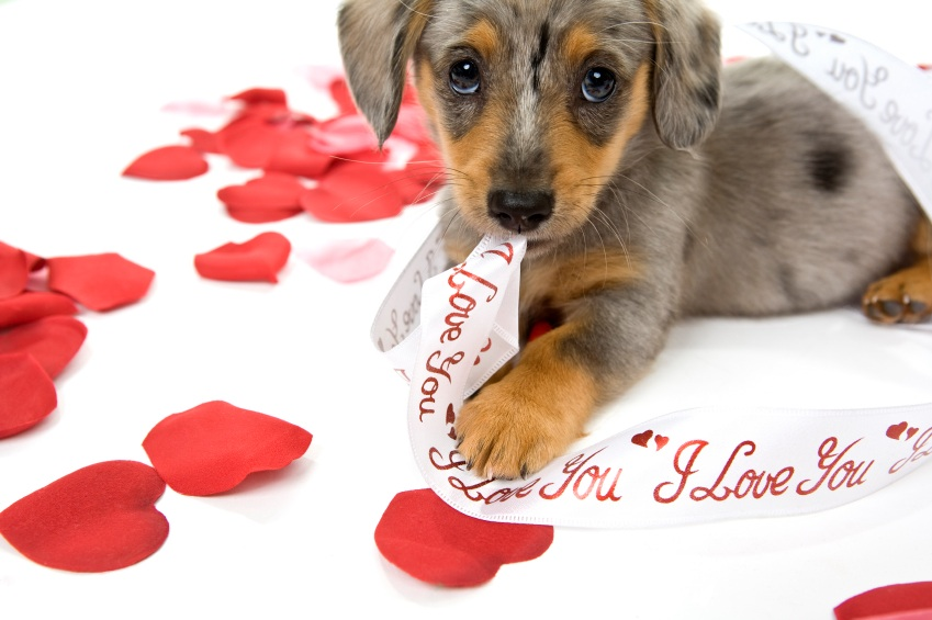Watch them and their beauty as expressed in these Valentines Day Puppy