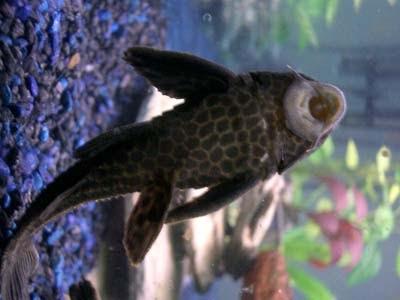 plecostomus el famoso limpia cristales fan del pez