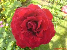 Rosa do Meu jardim