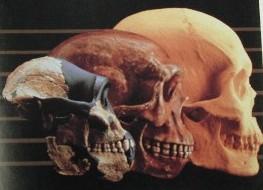 Estudios que avalan nuestro parentezco cercano - GRANDES SIMIOS - HERMANOS EVOLUTIVOS.