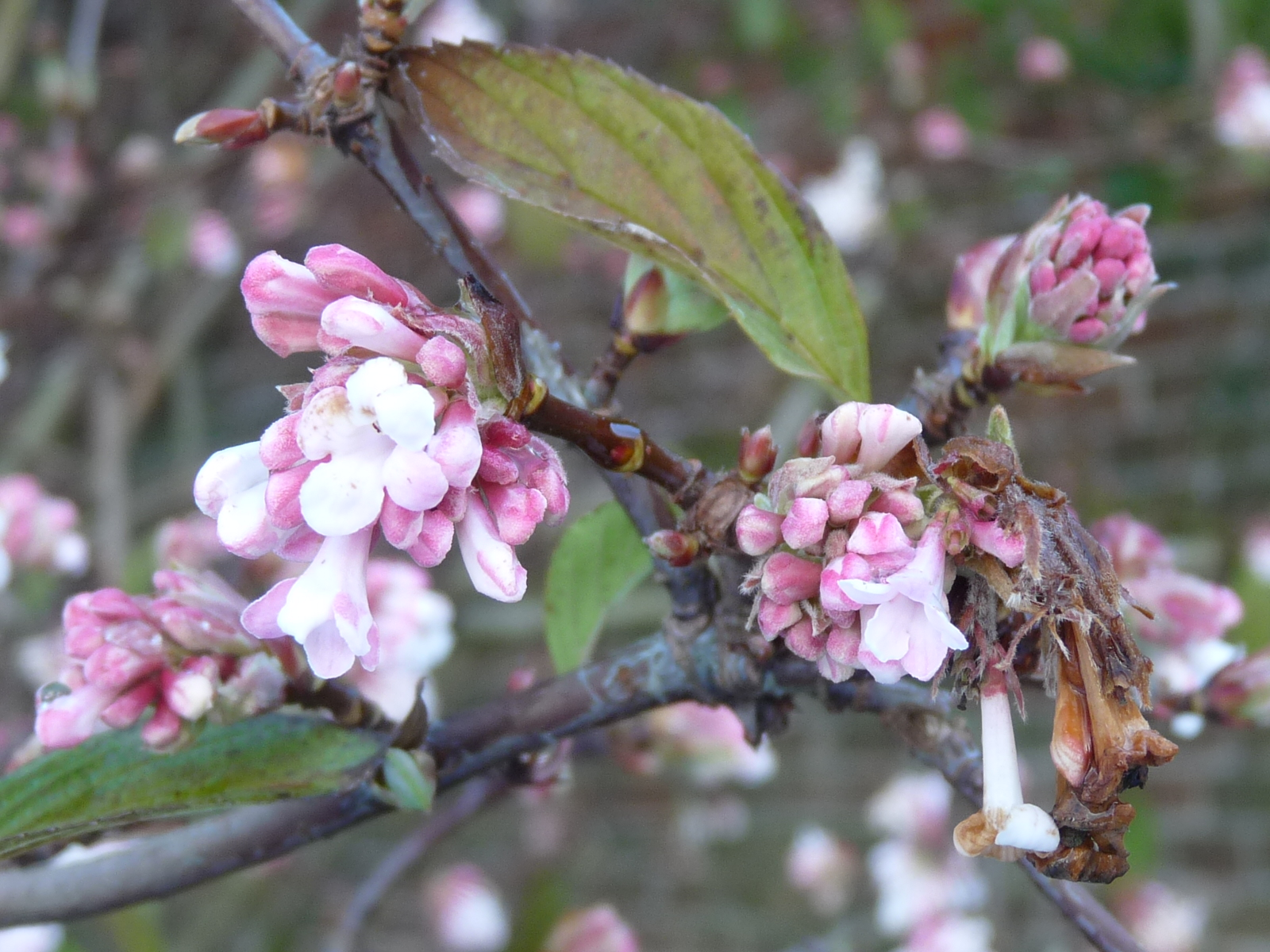 holkham walled garden viburnum x bodnantense 39 dawn 39. Black Bedroom Furniture Sets. Home Design Ideas