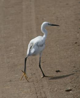 Strange Little Egret walks