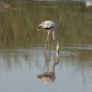 Greater Flamingo in the Swakop River Mouth