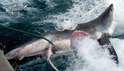 blog tiburones shark