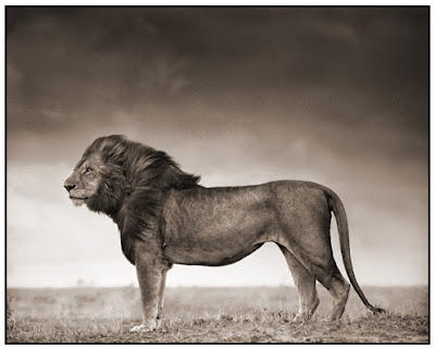 Great Photos2 Great Lion Photos by Nick Brandt