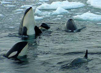 [killerwhales.jpg]