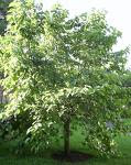 A Mulberry Tree