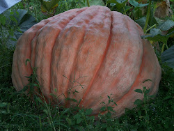The Pumpkin is still GROWING!!!