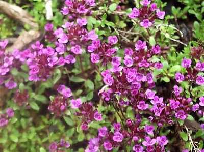 Alternativna medicina Majcina+dusica1