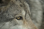 wolf LUPUL
