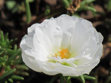 White Portulaca