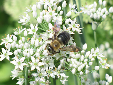 Bumblebee on Blooming Garlic Chives