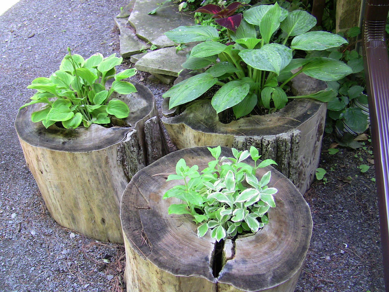 idea for plant flower to plant in tree stump clematis