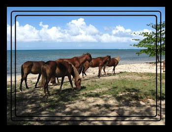 horses run wild on the island of Vieques PR