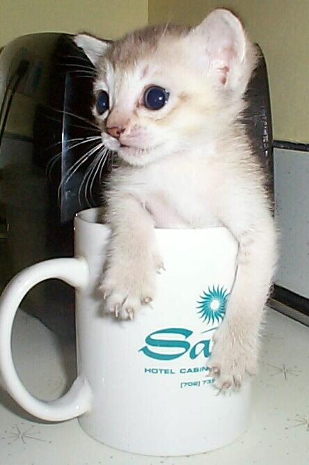 russian word for kitten