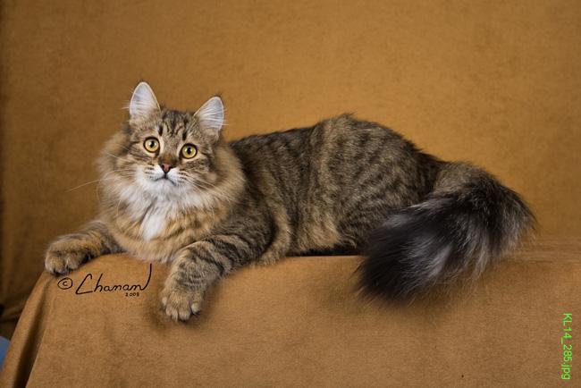 http://2.bp.blogspot.com/_uH6j5NEBh5Q/TTGGpCM-3sI/AAAAAAAAAHA/P93HxA03kPo/s1600/Siberian-Cat_C.jpg