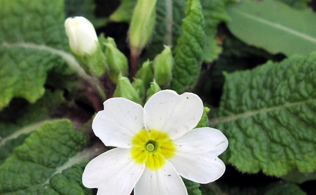 A Bad Witchs Blog Primroses For Love Protection And Fairy Magic