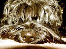 Mój Sznaucerek/My Dog