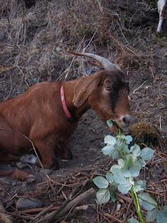 une chèvre dans un jardin communautaire à seattle
