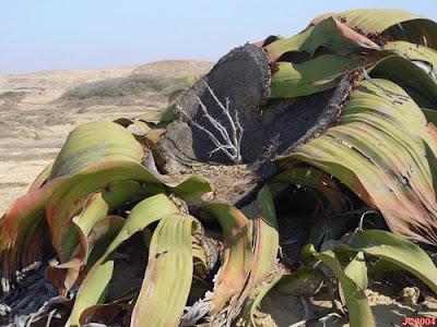 Tumbuhan Paling Tangguh di Dunia (Welwitschia Mirabilis)