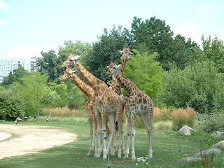 Girafes rassemblées dans la plaine africaine