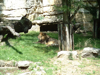 Le lion se repose